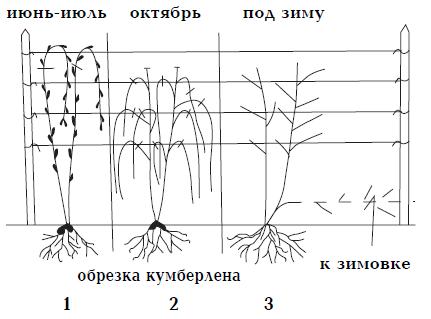 схема обрезки малины кумберленд