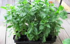 выращивание стевии из семян