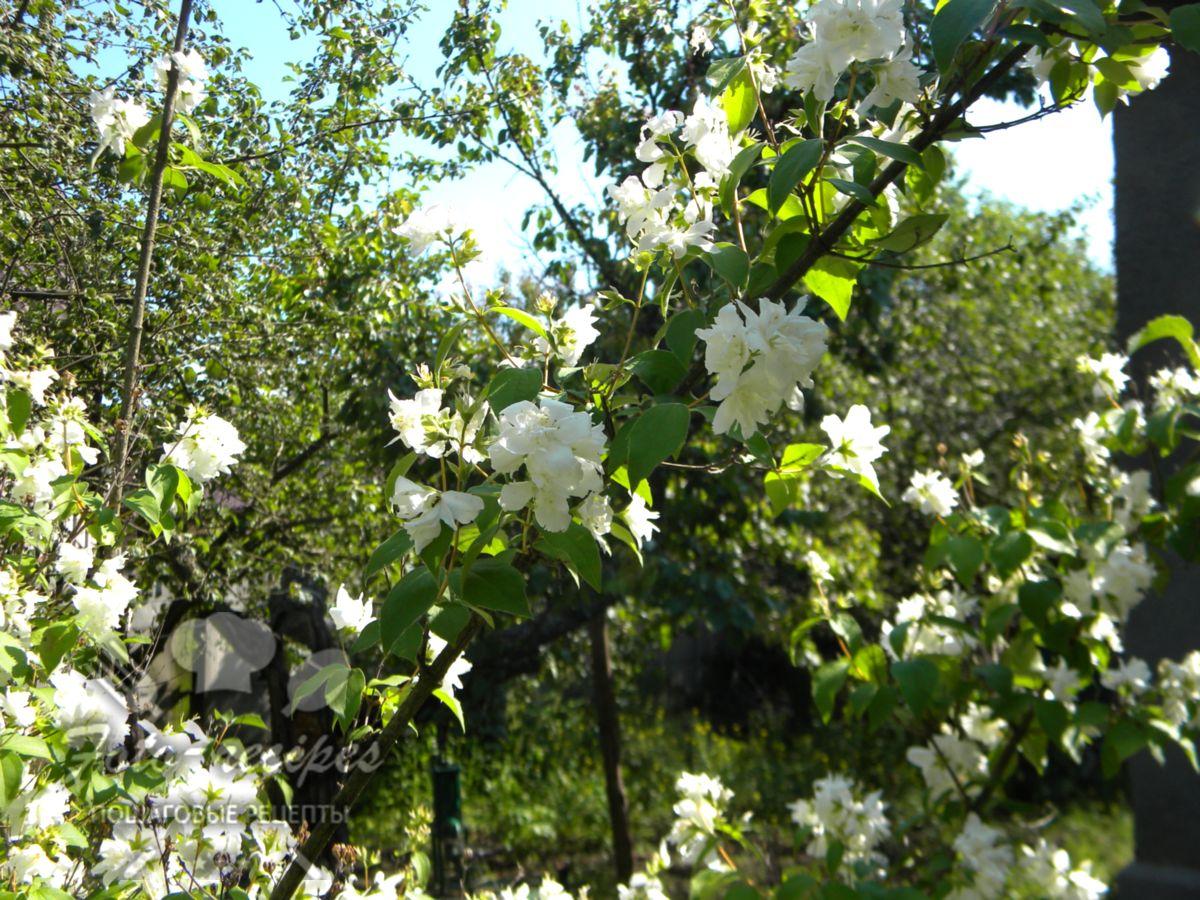 цветы жасмина